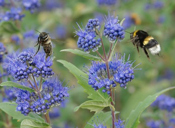 Caryopteris mit Bienen