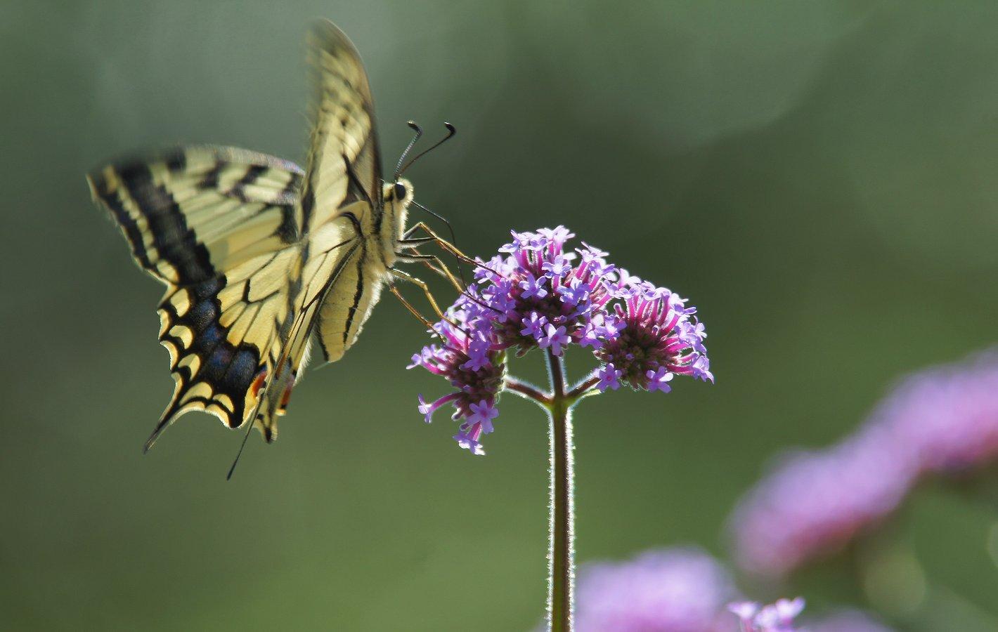 Schwalbenschanz_InsektenPflanzen