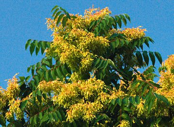 Neophyten Ailanthus altissima