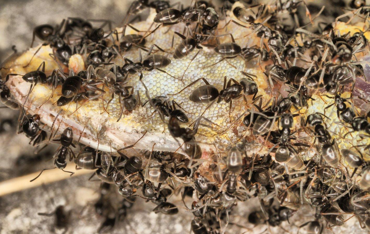 Fremde Ameisen
