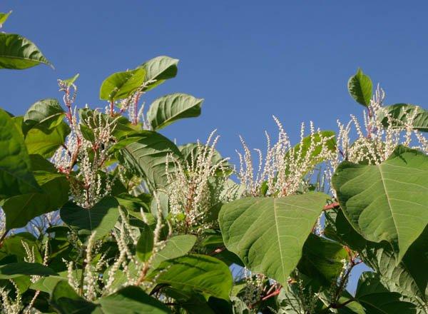 Teaser Invasive Neophyten